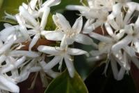 Honig von Kaffee-Blüten aus Brasilien 50g